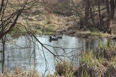 鸭子池塘 库存图片