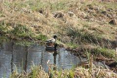 鸭子池塘 免版税库存照片