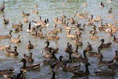 鸭子池塘 免版税库存图片