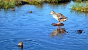 鸭子沼泽 库存图片