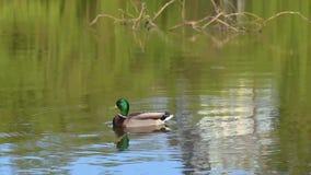 鸭子沿水游泳在一个池塘在春天公园 影视素材