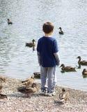 鸭子注意 库存照片