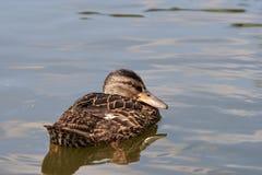 鸭子浮动的水 免版税库存照片