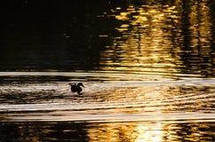 鸭子游泳剪影在一个金黄池塘作为太阳集合 图库摄影
