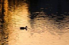 鸭子游泳剪影在一个金黄池塘作为太阳集合 库存图片