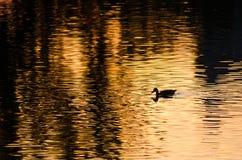 鸭子游泳剪影在一个金黄池塘作为太阳集合 库存照片