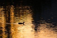 鸭子游泳剪影在一个金黄池塘作为太阳集合 免版税库存照片