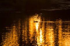 鸭子游泳剪影在一个金黄池塘作为太阳集合 免版税图库摄影