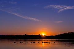 鸭子游泳剪影在一个金黄池塘 免版税库存照片