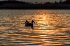 鸭子游泳剪影在一个金黄池塘 免版税图库摄影