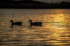 鸭子游泳剪影在一个金黄池塘 库存照片