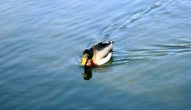 鸭子游泳在喷泉池塘 免版税图库摄影