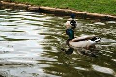 鸭子游泳在城市池塘 库存图片