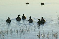 鸭子游泳在日出在树丛del亚帕基National野生生物保护区,靠近圣安东尼奥和索乔尔罗,新墨西哥 图库摄影