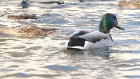 鸭子游泳在池塘 野鸭 影视素材