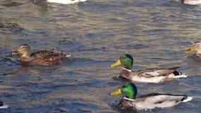 鸭子游泳在池塘 野鸭 股票视频