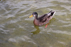 鸭子游泳在池塘 免版税库存照片