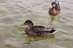 鸭子游泳在池塘 图库摄影