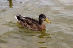 鸭子游泳在池塘 免版税图库摄影