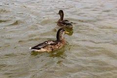 鸭子游泳在池塘 免版税库存图片