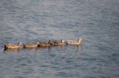 鸭子游泳在河 免版税库存照片