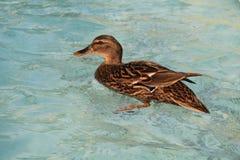 鸭子游泳在湖 免版税图库摄影