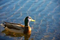 鸭子游泳在湖 免版税库存照片