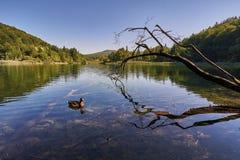 鸭子游泳在湖 免版税库存图片