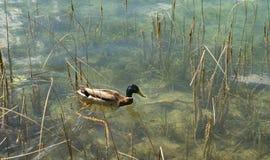 鸭子游泳在镇静和透明水中 库存图片