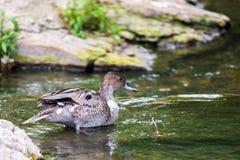鸭子游泳在水中 免版税库存图片