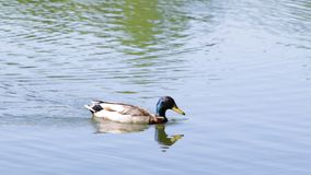 鸭子游泳 影视素材
