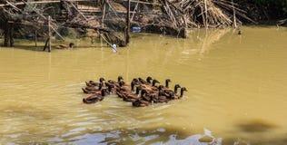 鸭子游泳 免版税图库摄影