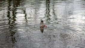 鸭子潜水在池塘 免版税库存图片