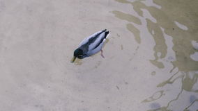 鸭子潜水入水 股票视频
