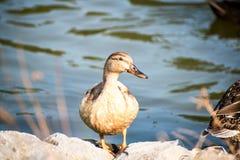 鸭子特写镜头棕褐色鸭子 库存照片