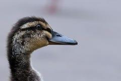 年轻鸭子特写镜头  免版税库存图片