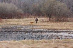 鸭子猎人和他的猎犬 免版税库存图片