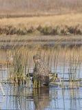 鸭子猎人 库存图片