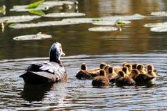 鸭子用十三只鸭子 免版税库存照片