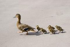 鸭子用在街道上的小鸭子 库存照片