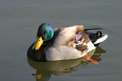 鸭子用浆划 库存照片