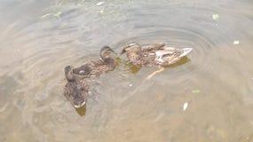 鸭子用鸭子 图库摄影