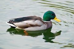 鸭子男性野鸭游泳 库存照片