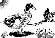 鸭子男性,在风景 图库摄影