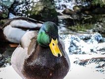 鸭子画象 免版税库存照片
