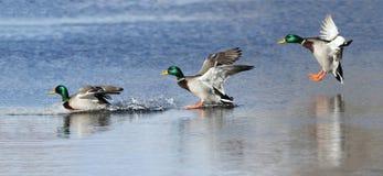 鸭子登陆 免版税库存照片