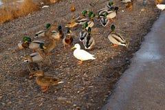 鸭子白变种 免版税库存照片