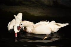 鸭子白色游泳 免版税库存图片