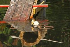 鸭子白色 婴孩逗人喜爱的鸭子 游泳在水中的幼小白色鸭子在湖 鸭子游泳在池塘 一只白色鸭子的婴孩 免版税库存照片