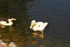 鸭子白色 婴孩逗人喜爱的鸭子 游泳在水中的幼小白色鸭子在湖 鸭子游泳在池塘 一只白色鸭子的婴孩 库存照片